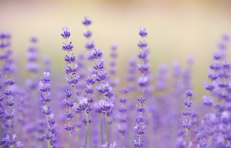 New! Lavender Harvester for Medicinal Herbs – SPAPPERI NT Srl